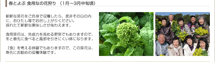 食用菜花 収穫体験